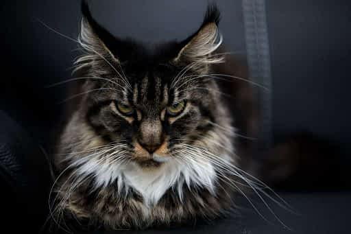 gato con boçigotes muy largos