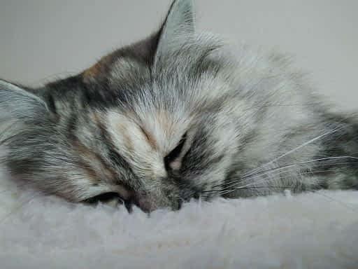 porque mi gato estornuda