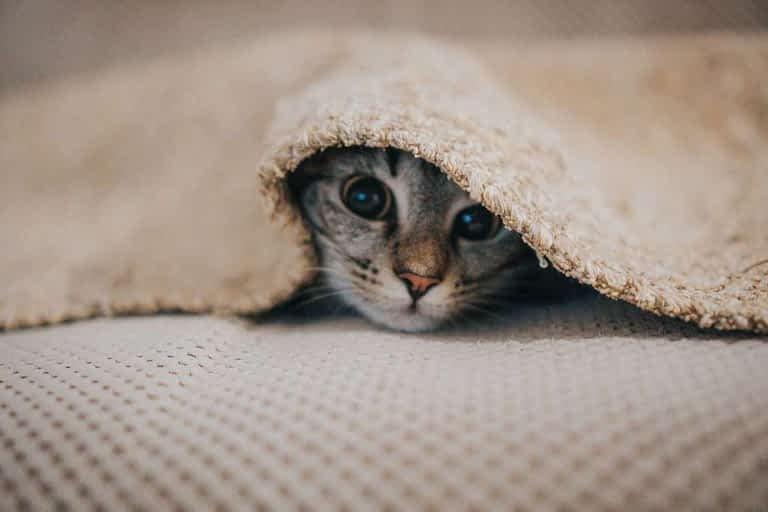 enfermedades de los gatos