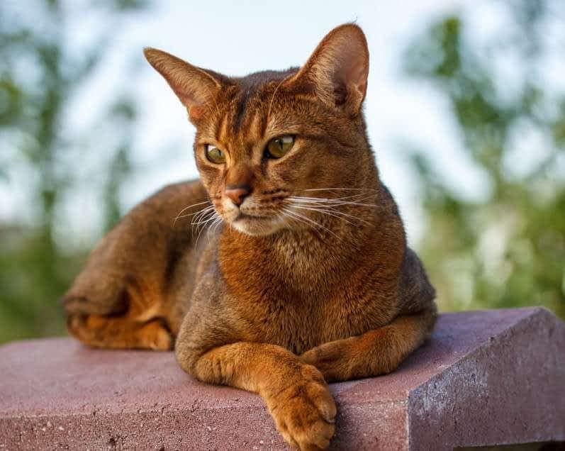 raza de gato abisinio