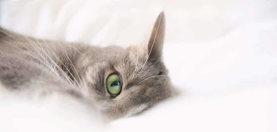 tipos de razas de gatos