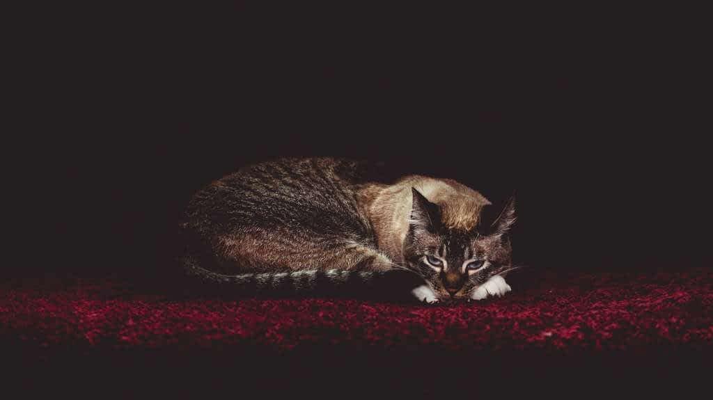 7 consejos para calmar a tu gato si está estresado