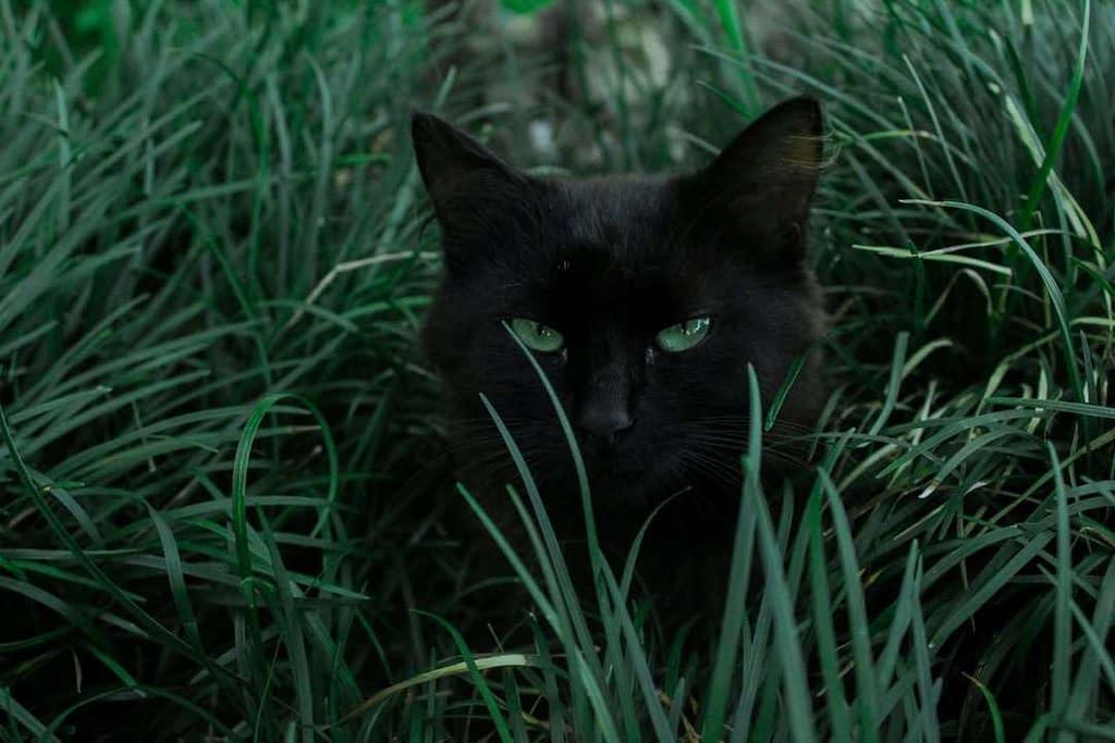 raza de gato bombay