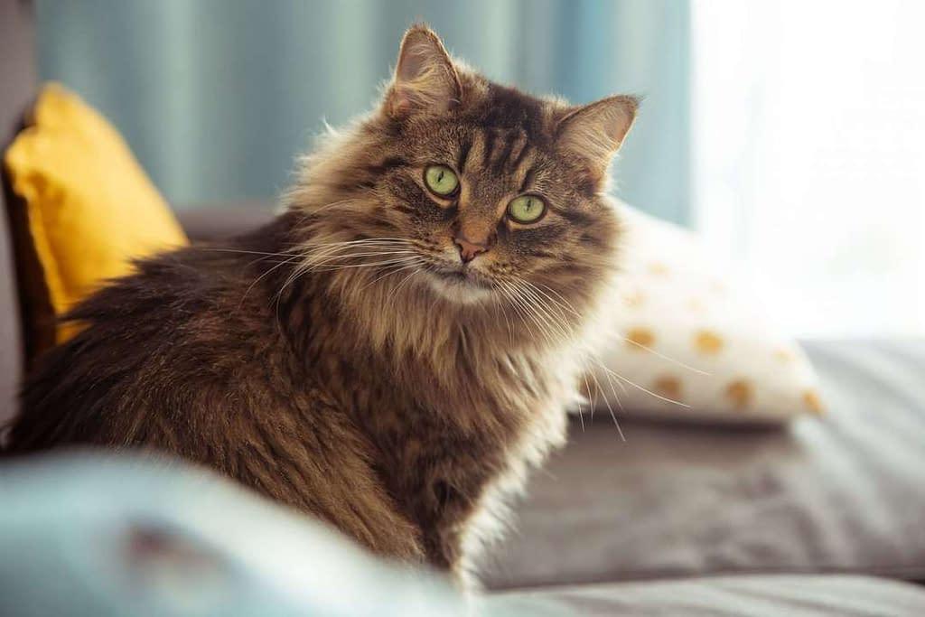 raza de gato bosque de noruega