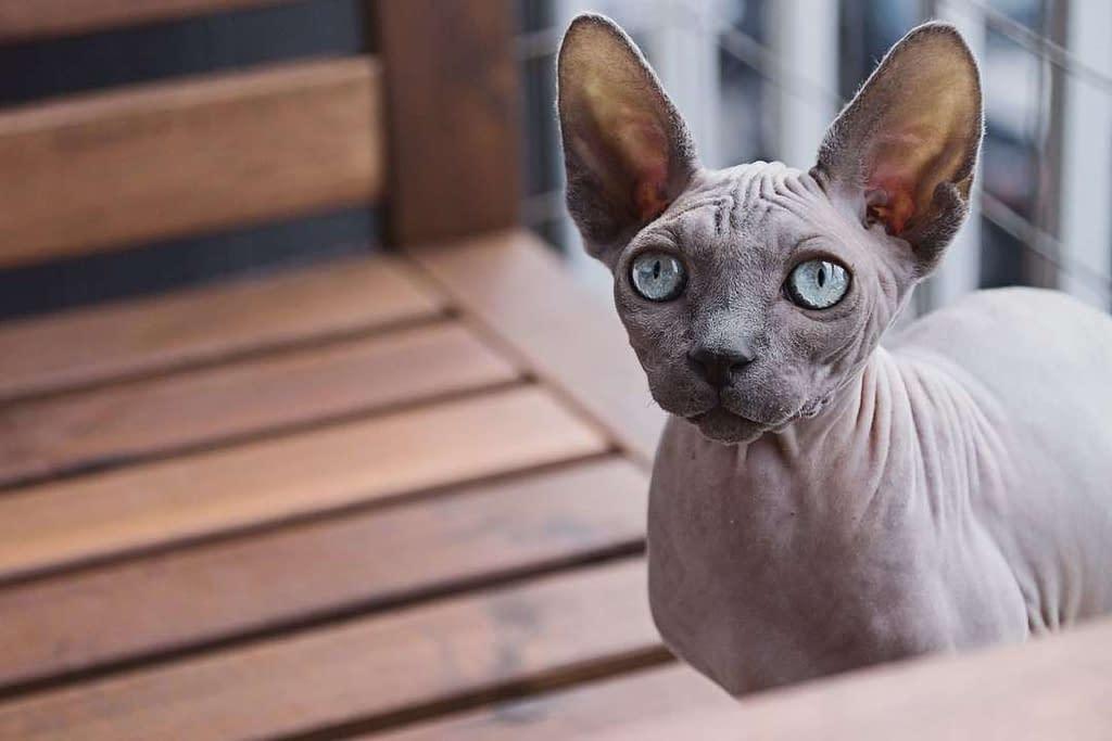 raza de gato esfinge