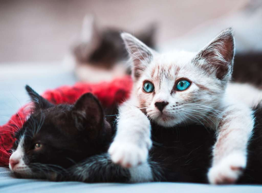 tipos de enfermedades de los gatos
