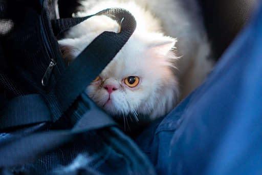 miedo a cortar las uñas a tu gato