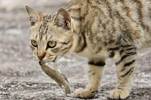 gato comiendo un pescado