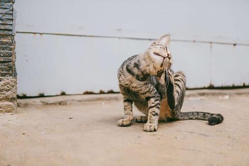 gato rascandose obsesionadamente