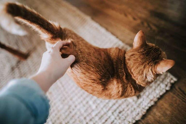 como acaricias a un gato