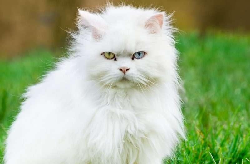 raza de gato angora
