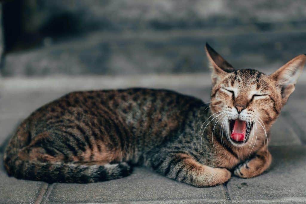 ¿Le huele la boca a tu gato? Tips saludables para el mal aliento de tu gato
